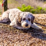 10 Facts Only Aussiedoodle People Understand