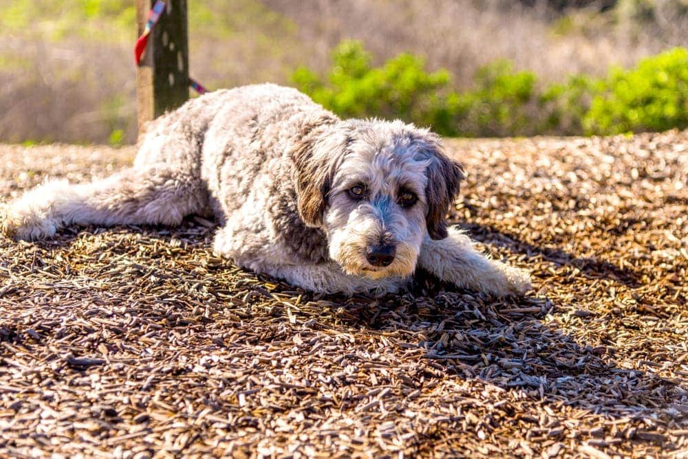 Aussiedoodle on ground