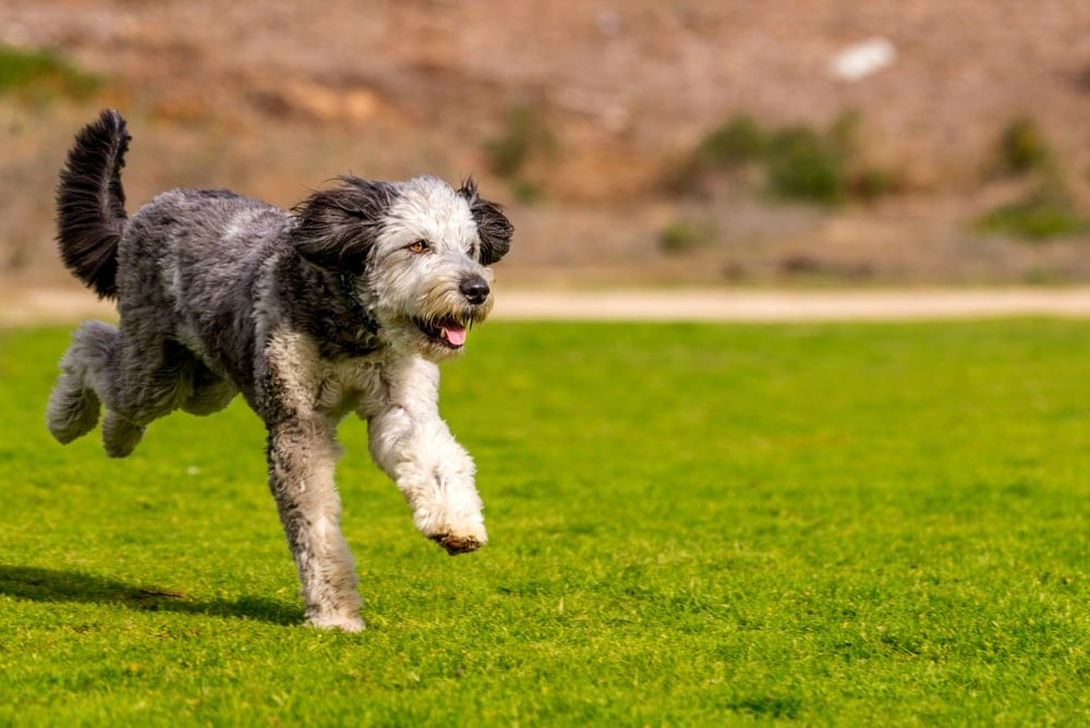 Aussiedoodle running
