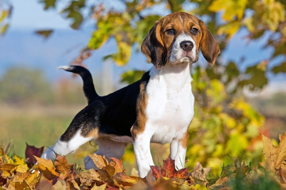 Beagle standing