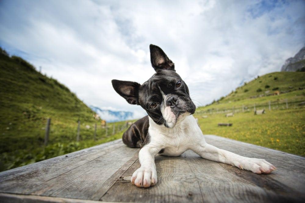 Boston Terrier wild