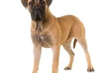 10 Popular Gentle Giant Dog Breeds