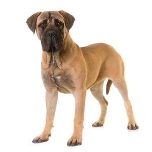 10 Popular Gentle Giant Dog Breeds