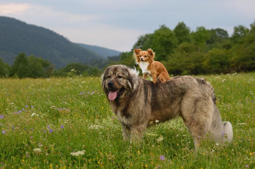Caucasian Shepherd large