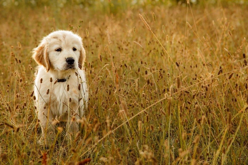 Golden Retriever puppy on field