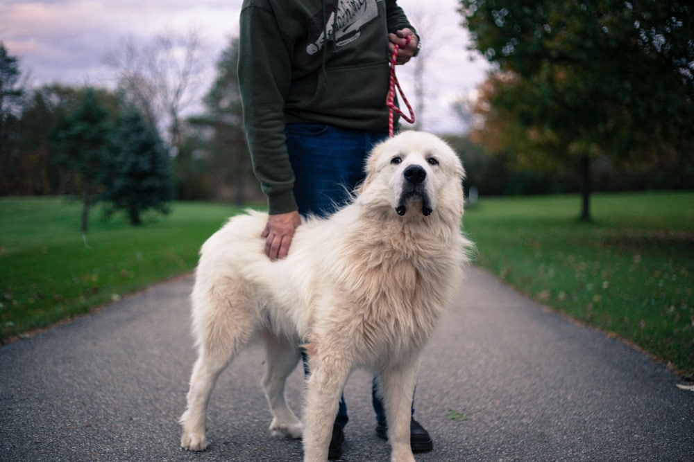 Great Pyrenees large