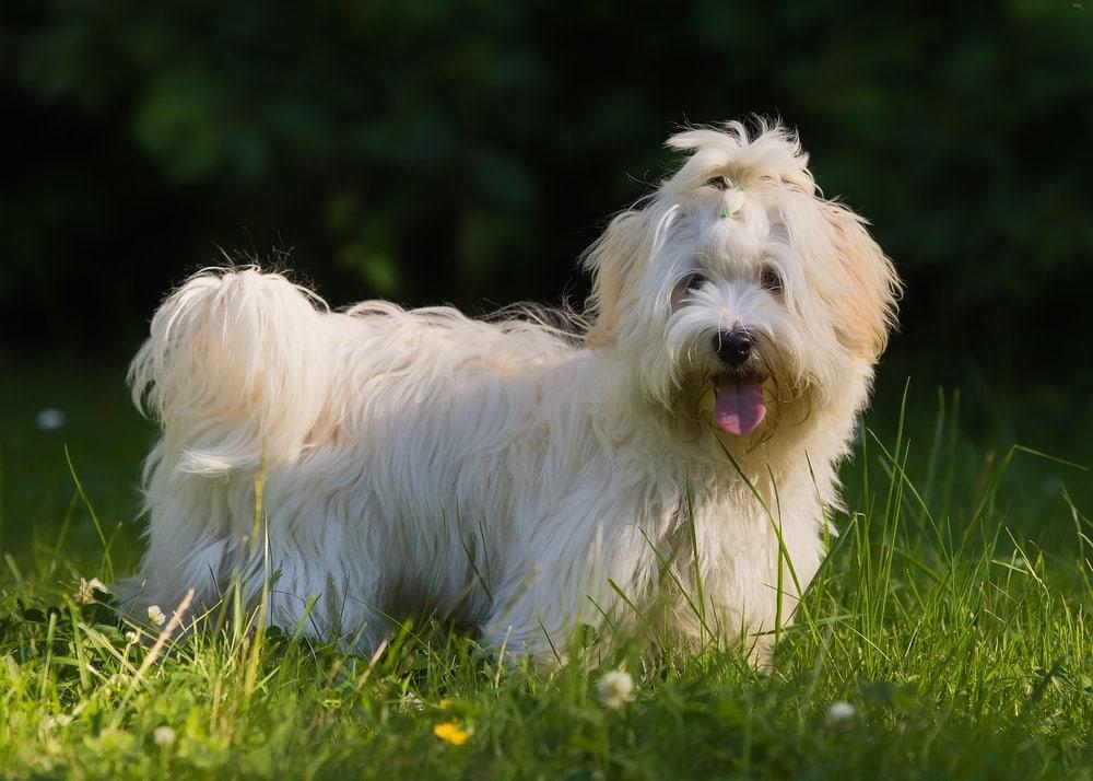 Havanese breed