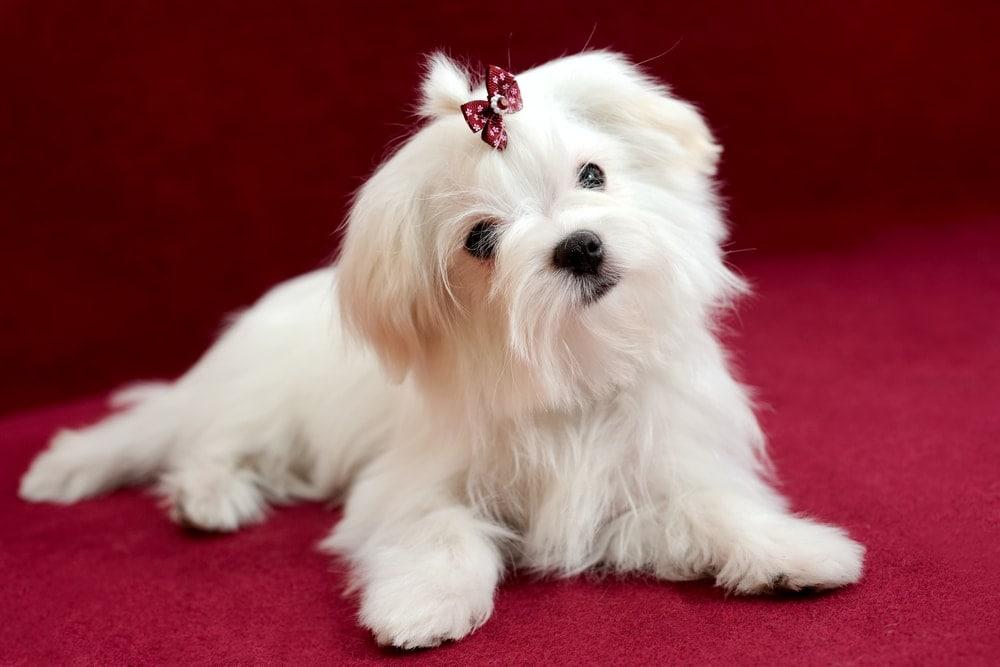 Maltese breed