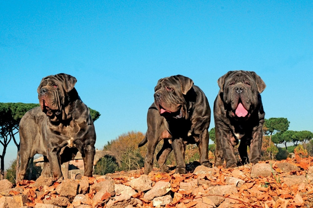 Neapolitan Mastiff three large