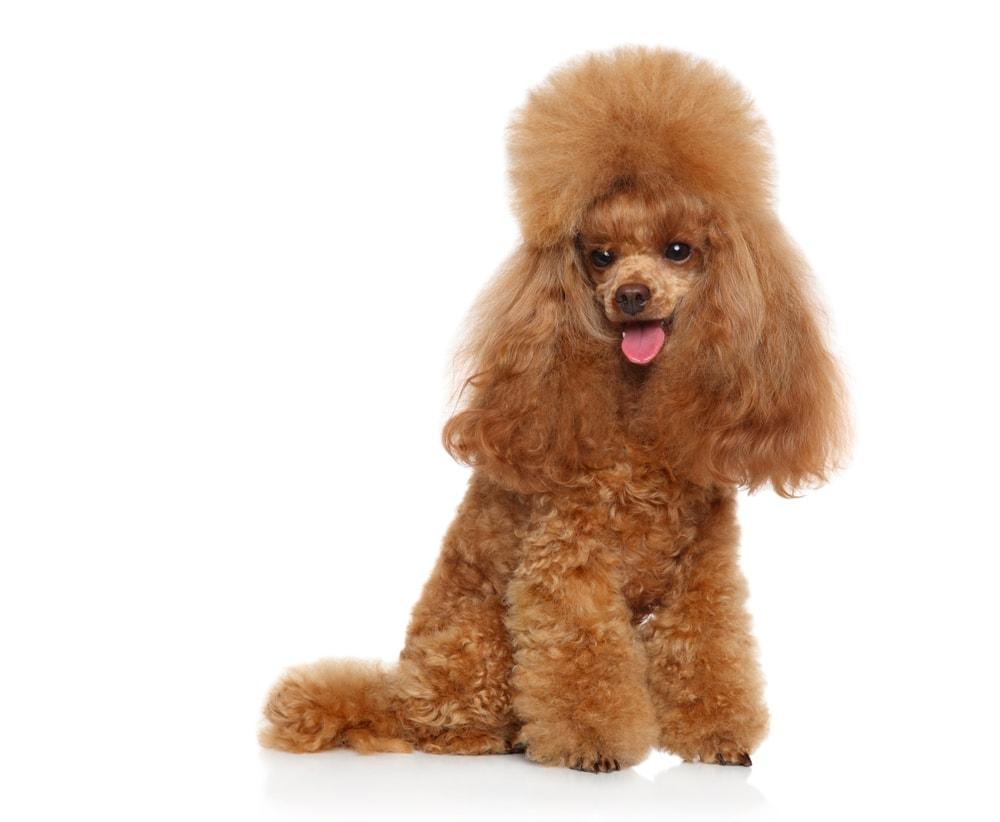 Poodle hair
