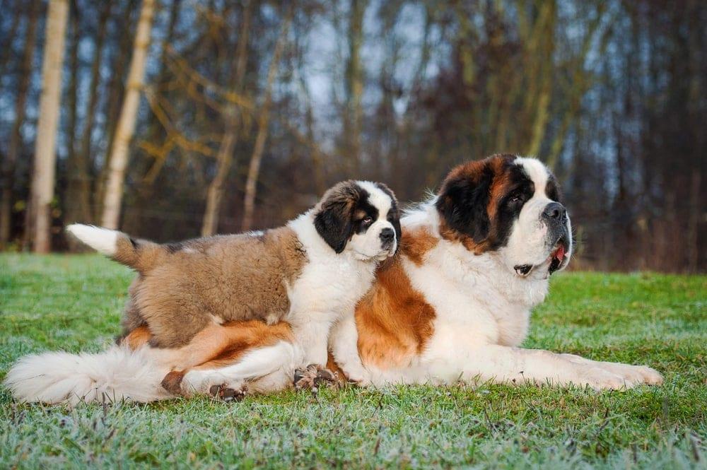 Saint Bernard and puppy
