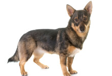 10 Rare Dog Breeds (With Prices)