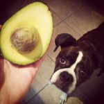 Are Avocados Bad & Dangerous for Dogs?