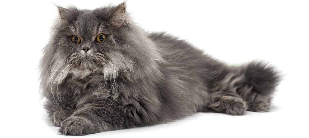 black persian cat 1 e1574511162931