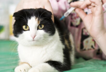 Rabies Vaccines for Cats - What you need to know