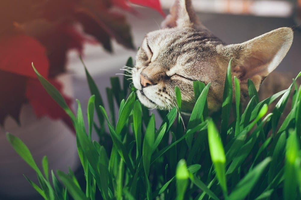 cat grass 2