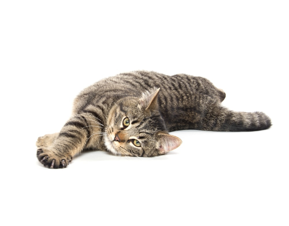 cat in heat 2