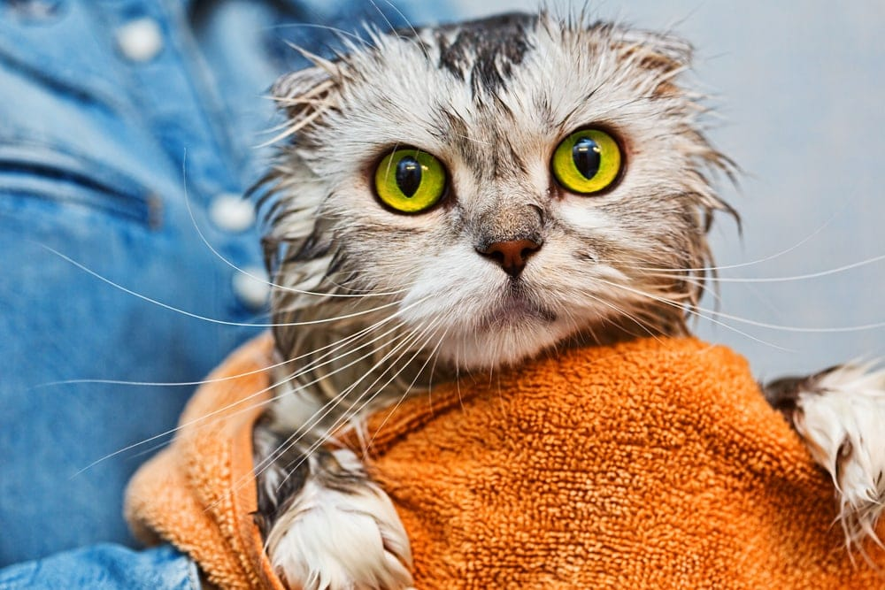 cat in towel after bath