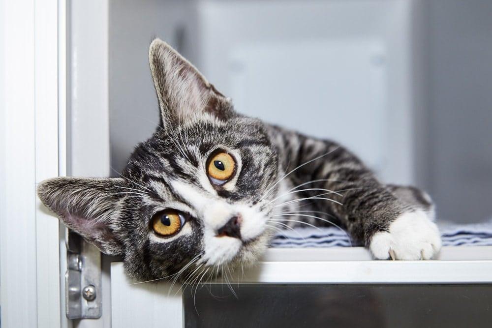 cat lay