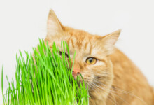 How to Grow Cat Grass at Home?