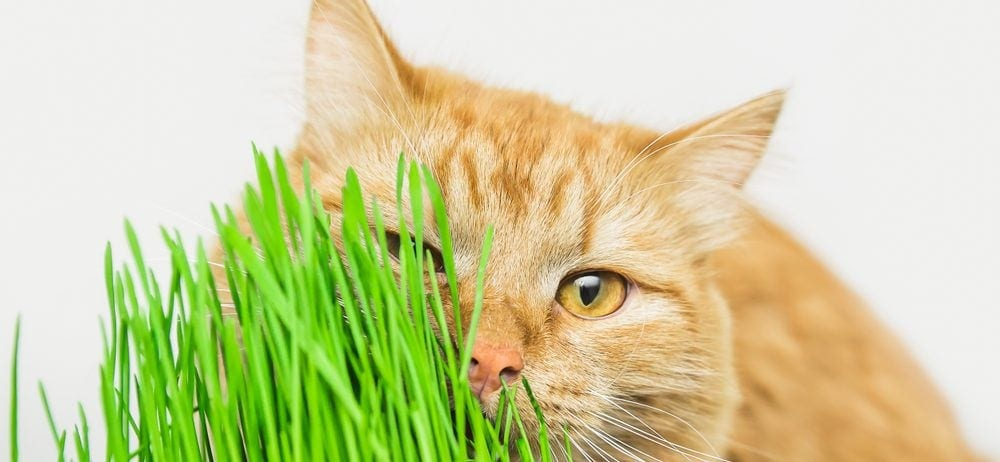 cat with cat grass e1574441329827