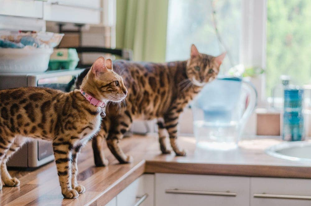cats on counter