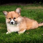 Pembroke Welsh Corgi Breed Information