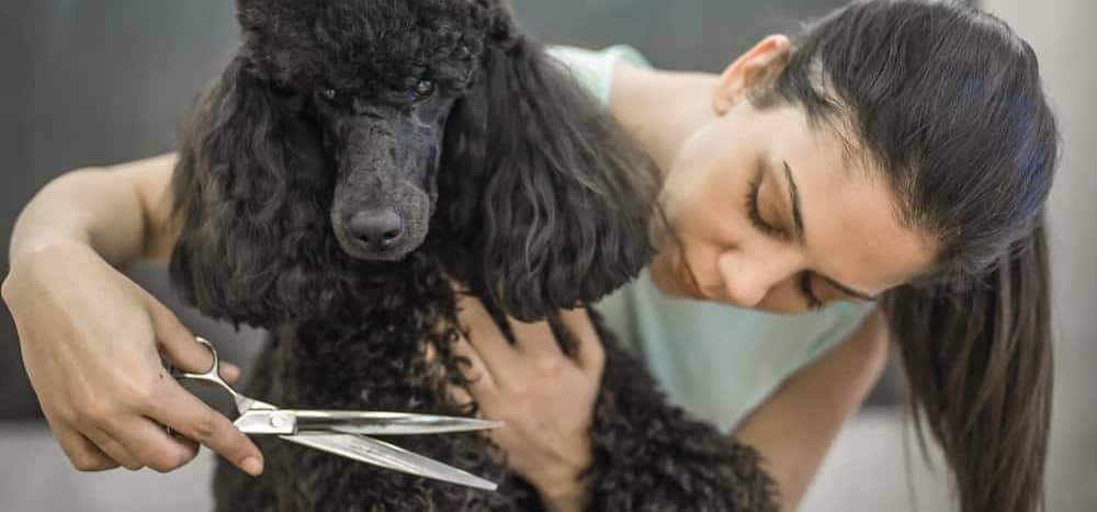 10 Por Poodle Cuts In 2020 Petsoid