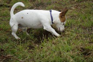 digging terrier