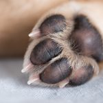 Hyperkeratosis in Dogs Paws - Information