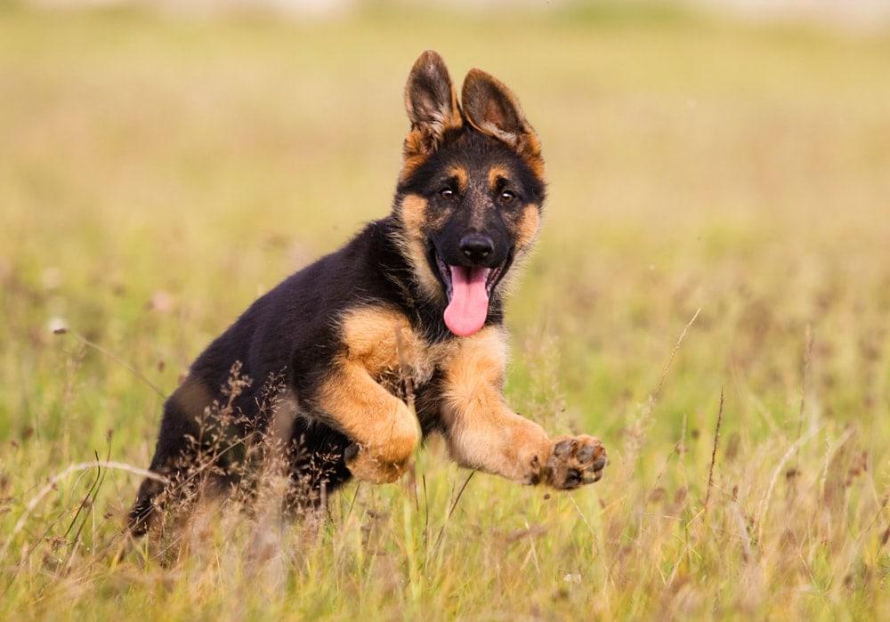 gernan shepherd puppy