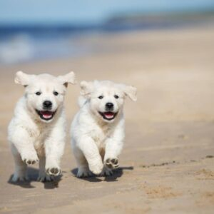 Golden Retriever Puppies: A Guide for New Owners