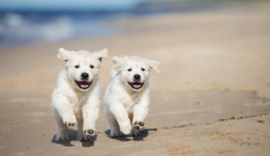golden puppies on beach