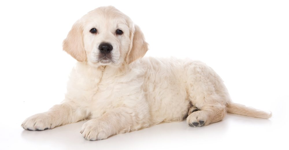 golden puppy white backgorund 1 e1574248968403