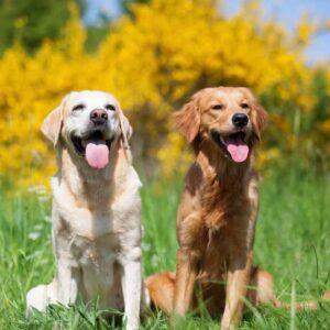 Labrador Vs. Golden Retrievers Differences