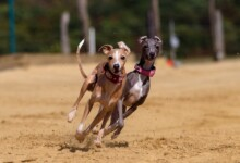 10 Fastest Dog Breeds in the World