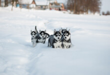 8 Things You Have to Know About Husky Puppies