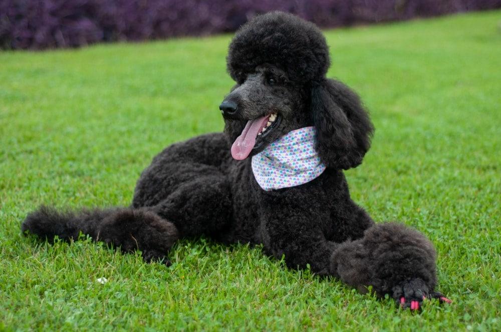poodle grass