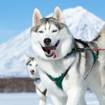 10 Dog Breeds From Russia with Pictures