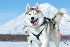 russian dog breed
