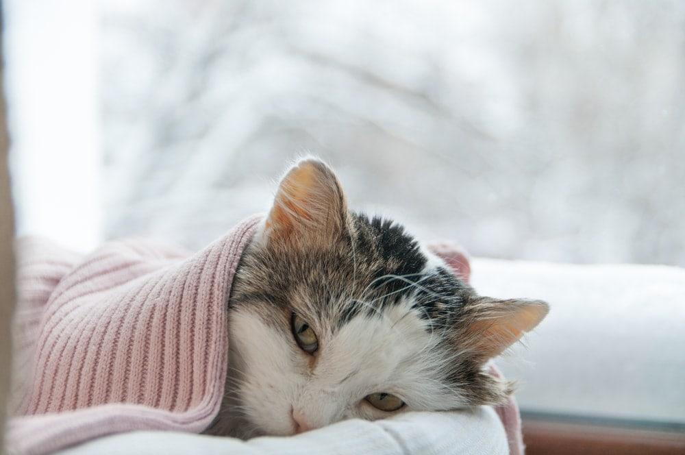 sick cat under blanket