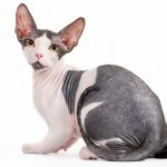 Sphynx Cat: Care Guide & Information