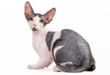 Sphynx Cat Care Guide & Information