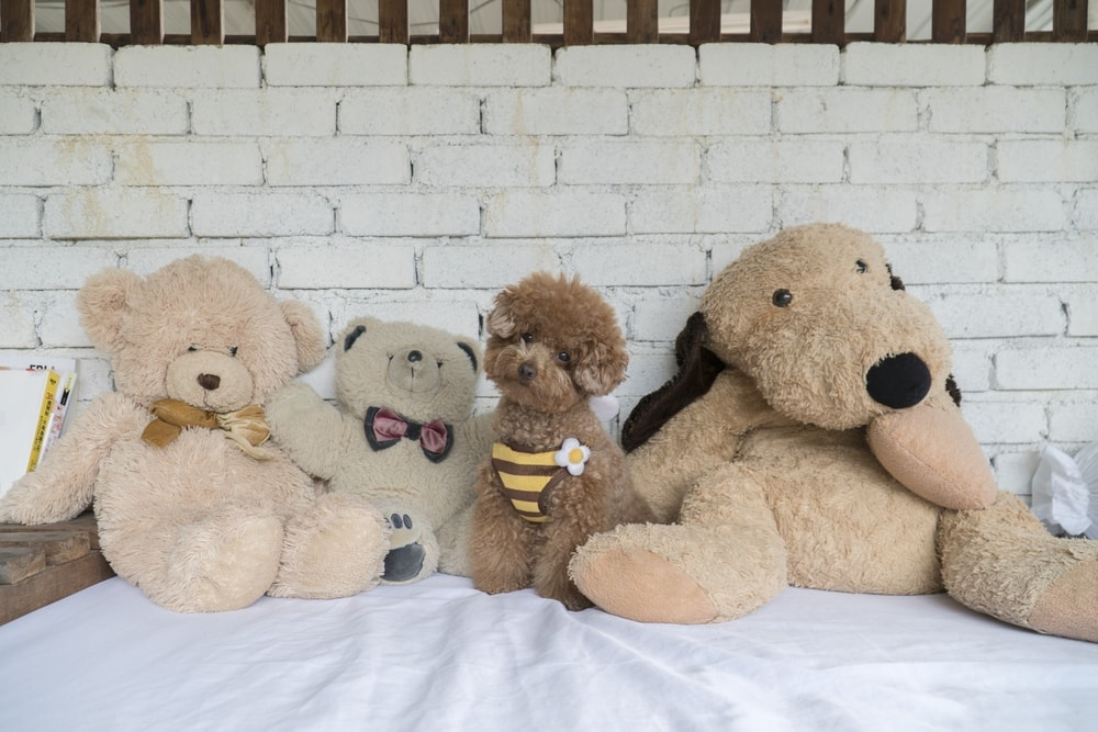teddy bear poodle cut