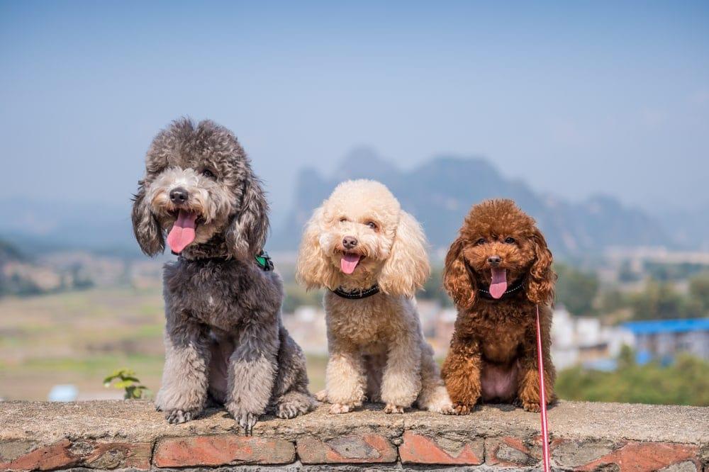 three Poodle