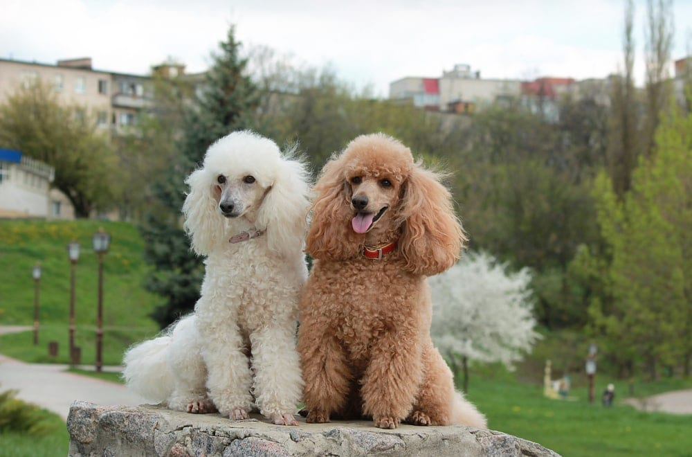 white brown poodle