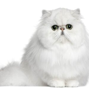 Persian Cat - Information & Care guide