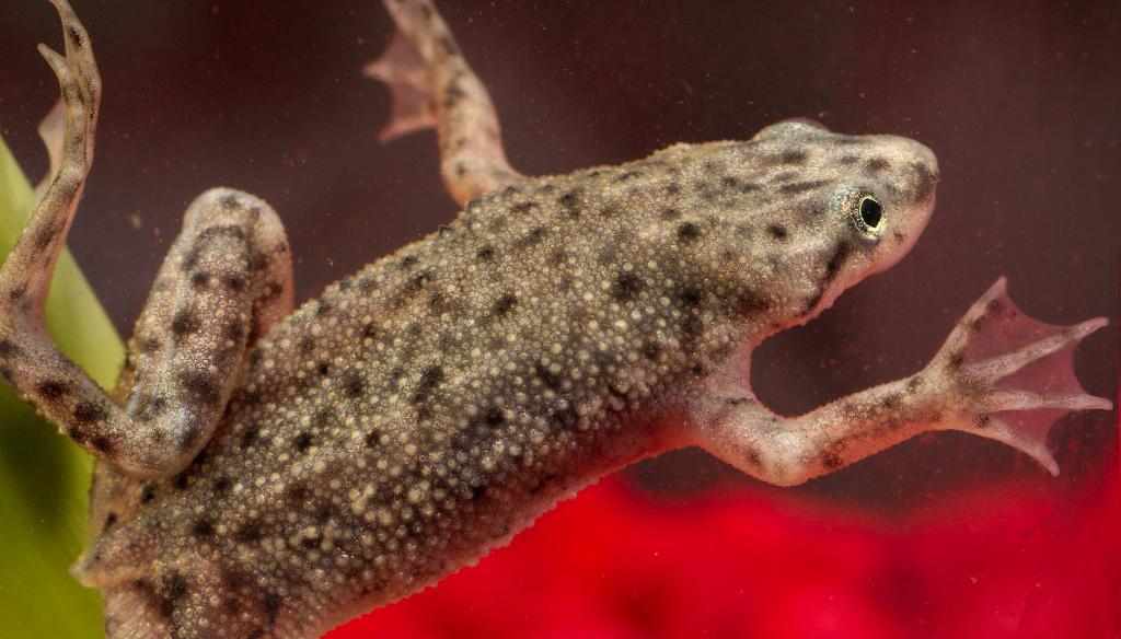 African Dwarf Frog in aquarium