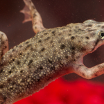 African Dwarf Frog - Care Guide & Info