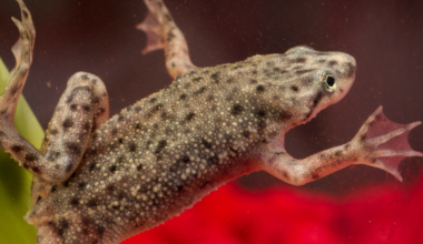 African Dwarf Frog in aquarium